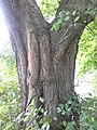 Ulmus glabra (smooth dark green very asymmetrical leaves). North Merchiston Cemetery, Edinburgh (4).jpg