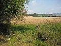 Unharvested wheat crop - geograph.org.uk - 974396.jpg