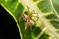 Unidentified banded spider, Sambisari Temple Complex, Yogyakarta, Indonesia 2014-09-28 01.jpg