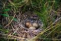 Unknown Eggs - panoramio.jpg