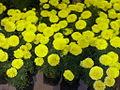 Unknown yellow flowers.jpg