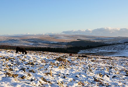 The Meavy valley on Dartmoor, UK, with some Dartmoor ponies grazing in the snow.
