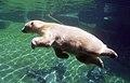 Ursus maritimus -San Diego Zoo, California, USA -swimming-8a.jpg