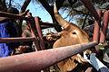 VETCAP in Kenya 120805-F-CF823-071.jpg