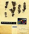 Vaccinium moupinense-herbier David MNHN.jpg