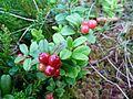 Vaccinium vitis-idaea (massif des Vosges).jpg