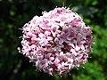 Valeriana tuberosa - Schynige Platte - 5729.JPG