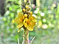 Verbascum Thapsus. (Bouillon blanc).jpg