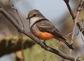 Vermillion-flycatcher-(F).jpg