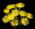 Verticordia acerosa var. preissii - Flickr - Kevin Thiele.jpg