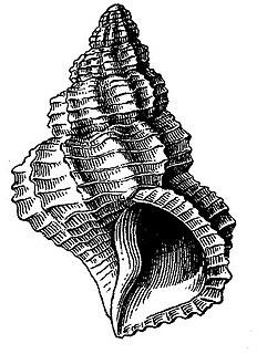 <i>Verticosta migrans</i> species of mollusc
