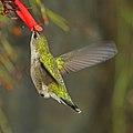 Vervain hummingbird (Mellisuga minima) feeding.jpg