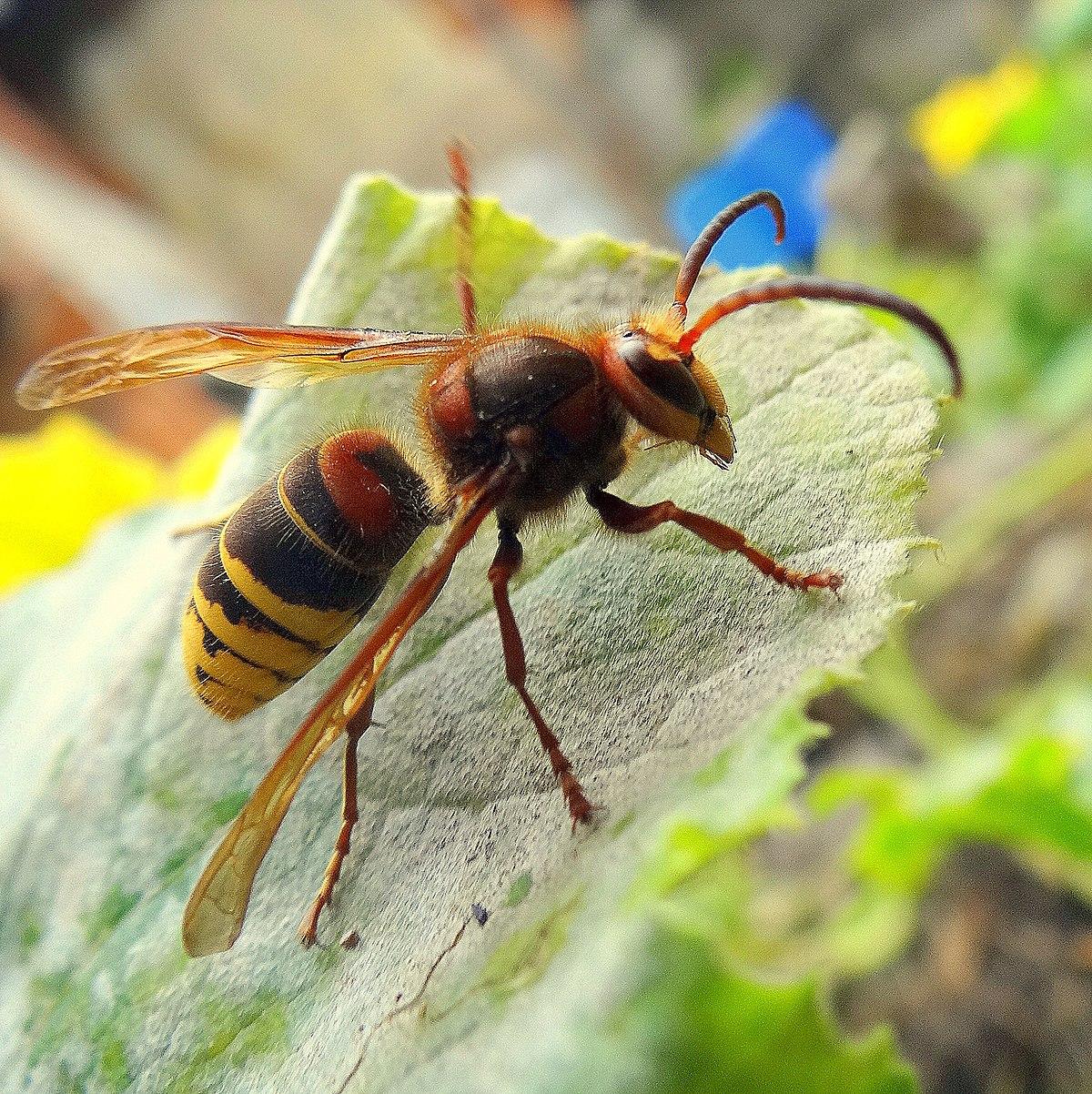 Repellente Naturale Per Vespe vespa crabro - wikipedia