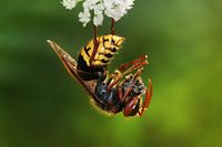 Vespa crabro germana with prey Richard Bartz.jpg