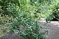 Viburnum carlesii Diana 2zz.jpg