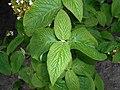 Viburnum veitchii 2016-05-09 9607.jpg