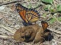Viceroy of Poop, Limenitis archippus - Flickr - GregTheBusker.jpg