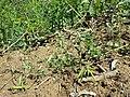 Vicia dumetorum sl2.jpg