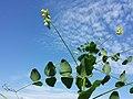 Vicia pisiformis sl13.jpg