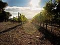 Vignoble à Saint-Genis-des-Fontaines.jpg