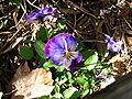 Viola 9.jpg