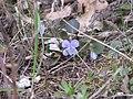 Viola canina Фиалка собачья IMG 3210.jpg