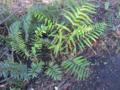 Virginia-chain-fern2 (8597177027).png