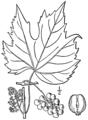 Vitis palmata BB-1913.png