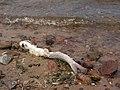 Włocławek-fish killed by poachers.jpg