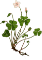 WWB-0033-011-Oxalis acetosella-crop.png