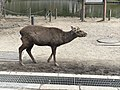 Walking Sika Deer.jpg