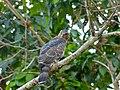 Wallace's Hawk-eagle (Nisaetus nanus) (8067749532).jpg