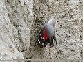 Wallcreeper (Tichodroma muraria) (49178485217).jpg
