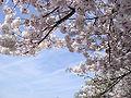 Washington D.C. Cherry Blossoms.jpg