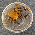 Wasps eating jam.jpg