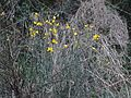 Weaver's Broom (2558046563).jpg