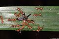 Weaver ants dismantle a Soldier beetle (5134642769).jpg