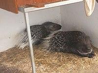 Weißschwanz-Stachelschweine im Tierpark Bischofswerda.JPG