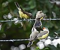 Western Kingbird (fledges and parents) (42900612744).jpg
