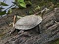 Western Pond Turtle.jpg
