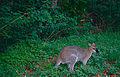 Whiptail Wallaby (Macropus parryi) (10087030534).jpg