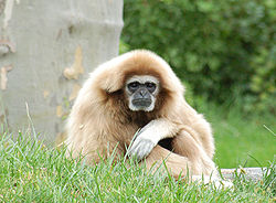 White-handed Gibbon Hylobates lar Orange 1900px.jpg