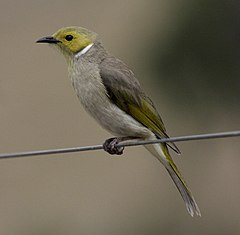 White-plumed honeyeater sundown08.jpg