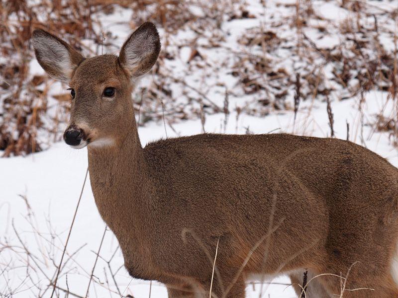 File:White-tailed Deer-27527-4.jpg