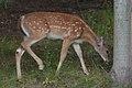 White-tailed Deer (Odocoileus virginianus) - Guelph, Ontario 02.jpg