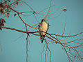 White-tailed Hawk by toddkoym.jpg
