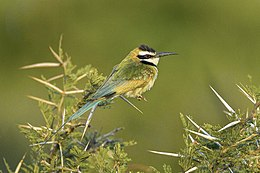 White-throated Bee-eater - Kenya S4E4811 (22024142954).jpg