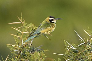 White-throated bee-eater - male, Kenya