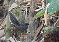 White-throated Fantail (16347564626).jpg