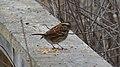 White-throated Sparrow (Zonotrichia albicollis) - Cambridge, Ontario.jpg